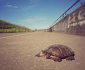 A turtle stands on the shoulder of a bike path.