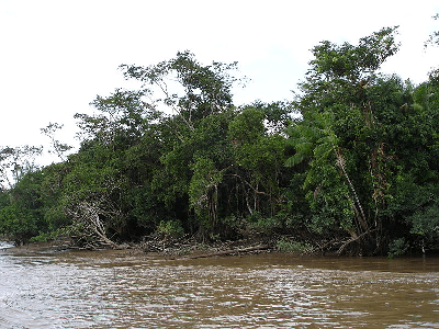 A photograph shows a muddy river, the Amazon River, with a densely shrubby shoreline.