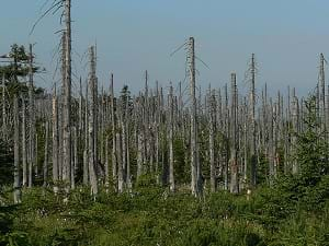 The Jizera Mountains' woods with deteriorated and dead tree trunks as a result of acid rain in the Czech Republic.