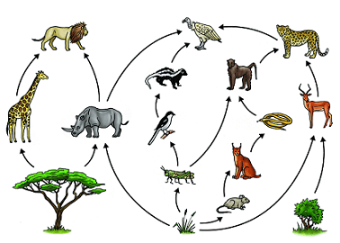 An illustration showing a Savanna food web