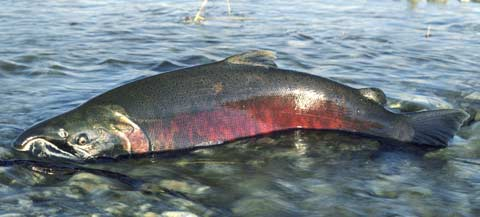 Photo shows an adult salmon with dark gray skin and a reddish underbelly, swimming in shallow water.