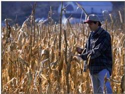 A photograph of a farmer inspecting his crop of corn.