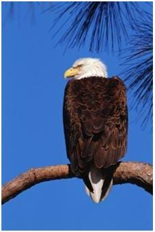 A photo of the American Bald Eagle – no longer on the endangered species list.