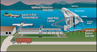 A diagram shows a side view of a dam across a river, with systems and parts identified: spillway, powerhouse, forebay, turbine intake, spillway deflectors (flip lips), juvenile bypass systems and transportation, and adult fish ladder. Barges move fish headed upstream through a lock system for safe passage around the dam.