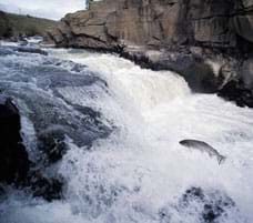 Photo shows a fish, out of the water, leaping upstream over some whitewater rapids.