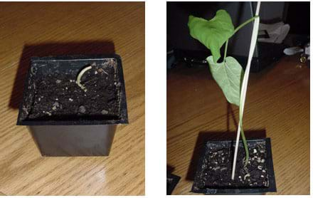 Two photographs. One shows a dead bean plant that was watered with the vinegar solution. The other shows a lush bean plant that was watered with tap water.