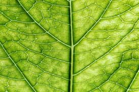 Close-up photo shows veining and cells of a green leaf.
