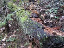 A mossy, crumbling, rotting log lying on a lush forest floor.