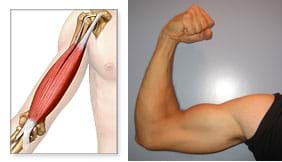 "Two photos: (left) A ""see-through"" drawing shows the muscles and bone under the skin of a human upper arm, between shoulder and elbow. (right) A man's right arm, tensed and bent at the elbow with the fist up."