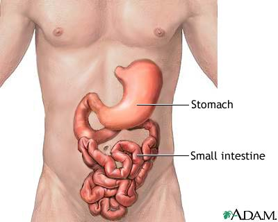 Drawing of a human torso with representations of the J-shaped stomach and snaking small intestine positioned above to show placement.