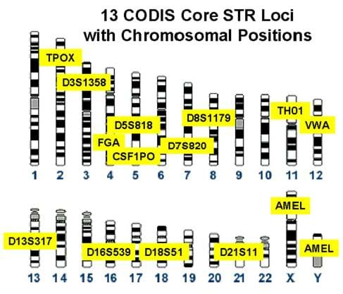 On a diagram showing many numbered columns with black, white and gray stripes, 13 CODIS sites are noted with their alphanumeric identifier in yellow highlight.