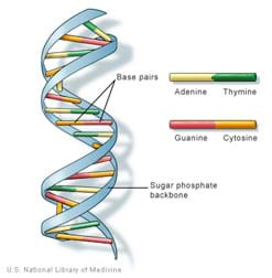 Drawing shows circular stairway-shape with cross rungs made from pairs of adenine and thymine, or guanine and cytosine biochemicals.