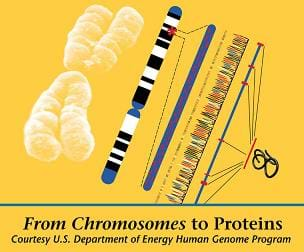 Diagram illustrates steps from chromosomes to proteins.