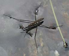 A photograph shows a long-legged insect on the water surface.