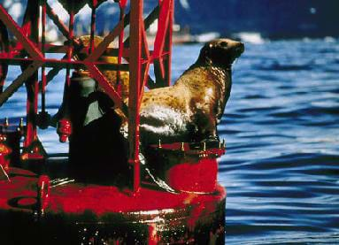 A picture of an oil-covered sea otter in Prince William Sound, Alaska.