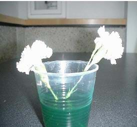 A photograph of two carnations placed in a cup of green-colored water, showing that the carnations have had no adverse affects by the plain water.