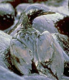 A photograph of a bird covered in oil as a result of the Exxon Valdez Oil Spill in 1989.