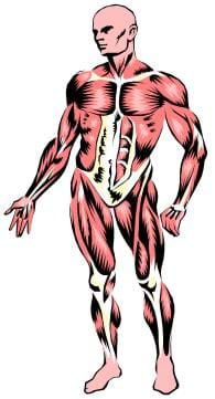 An anatomical drawing of the human muscular system.