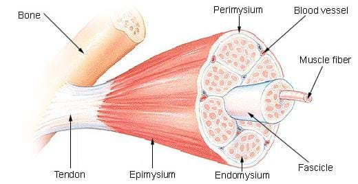 A medical illulstration shows the cross-section of a skeletal muscle. The muscle is labeled as follows: bone, tendon, epimysium, perimysium, endomysium, blood vessel, muscle fiber and fascicle.