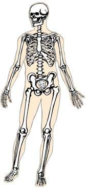 A transparent drawing of a human, showing the skeleton beneath beige-colored skin.