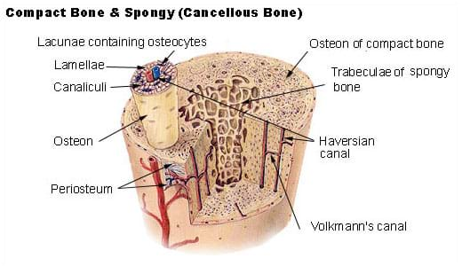 Shown is a diagram of a section of bone illustrating compact and cancellous (spongy) bone tissue. Listed are the various components of the bone: lamellae, canaliculi and osteon, among others.