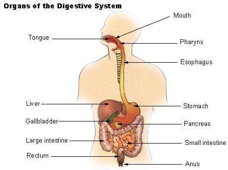 Digestive System Lesson Teachengineering