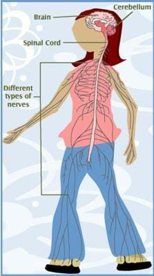 A drawing of a transparen girl with the components of her nervous system labeled: brain, cerebellum, spinal cord, various types of nerves throughout the body.