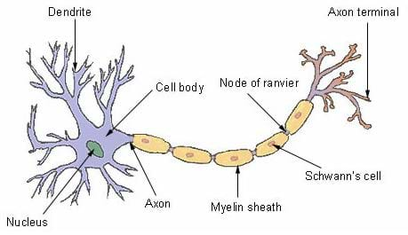 Drawing of a nerve cell body with dendrites and an axon coming off of it. Also shown is the myelin sheath, node of ranvier, Schwann's cell and the axon terminal.