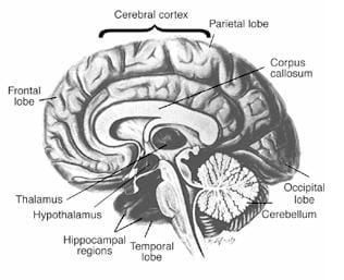 A black and white drawing of one-half side of the brain. Labeled are the cerebral cortex; the front, occipital, temporal, and parietal lobes; the thalamus, the corpus callosum, the cerebellum, the hypothalamus and the hippocampal regions.