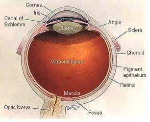 Cut-away diagrm of an eyeball with parts identified: cornea, iris, angle, sclera, canal of Schlemm, choroid, pigment epithelium, retina optic nerve, fovea, macula and vitreous humor.