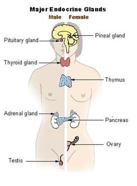 Shown is an illustration of the major endocrine glands. A person is divided in two, with a male on the left and a female on the right. Labeled are: the pituitary gland, the thyroid gland, the pineal gland, the thymus, the adrenal gland, the pancreas, the ovary and the testis.