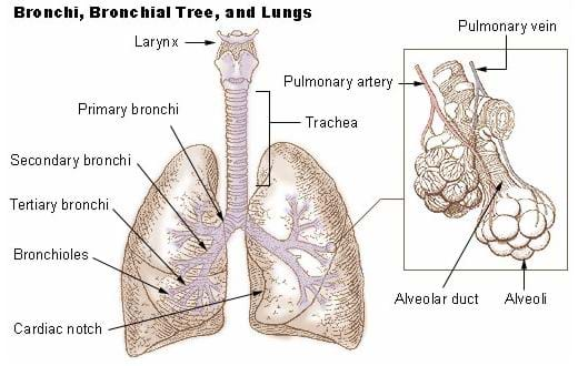 Drawing of the bronchi, bronchial tree, and lungs with a magnified image of the alveoli off to the right side.