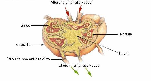 Drawing of a lymph node with lymph flowing through it. The following components are labeled: afferent lymphatic vessel, sinus, nodule, capsule, hilum, valve to prevent backflow, efferent lymphatic vessel.