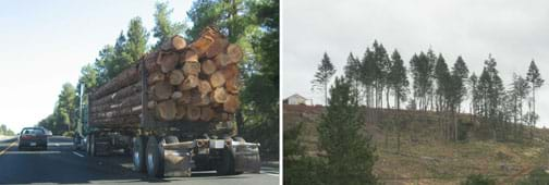 Two photos: (left) A truck carries a load of cut trees on the highway. (right) A hillside looks bare with most of its tall pine trees cut down.
