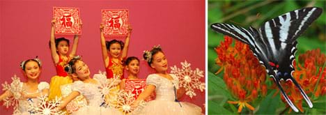 Two photos: (left) Six Asian girl ballerina dance holding snowflake props. (right) A black and white striped zebra swallowtail butterfly rests on red flower petals.