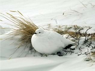 A photograph shows a white ptarmigan (a bird) sitting peacefully in the snow next to a tuft of dried grass.