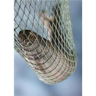 Photograph shows a gray fish in a string net.