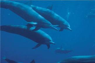 A bluish underwater photo shows swimming dolphins.