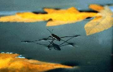 A color photo of a water strider insect on the surface of water with leaves floating nearby.