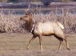 A tule elk with antlers in California wearing a tracking device around its neck.