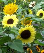 A photograph shows the faces of many big sunflowers and their leaves.