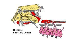 A medical side view cutaway diagram of the nose olifactory center.
