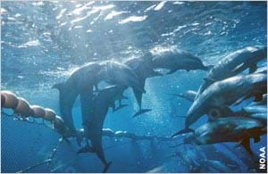 Photo under the ocean surface shows dolphins caught in a net.