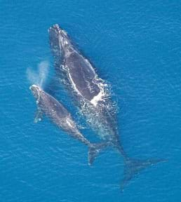 Aerial photo shows North Atlantic right whale with calf.