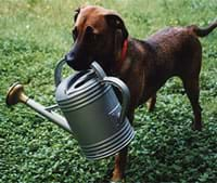 Photograph shows a dog holding a watering can in his mouth.
