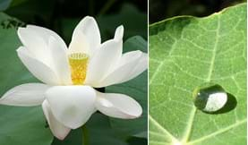 Two photos: (left) Lotus flower with many white petals. (right) A water droplet on a lotus leaf looks like a perfectly round, clear bead.
