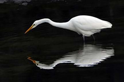 A heron standing in water with a fainter reflection of the bird in the water.