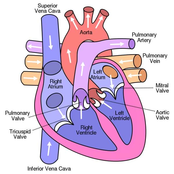 A drawing of the human heart and its components shows the path of blood through the chambers, balves, arteries and veins.