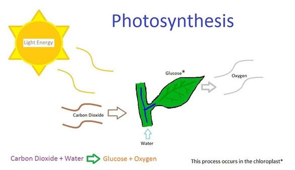 A hand-drawn diagram showing the process of photosynthesis. Image shows carbon dioxide, water, and sunlight energy flowing in to a green plant leaf and oxygen and glucose flowing out of the leaf.