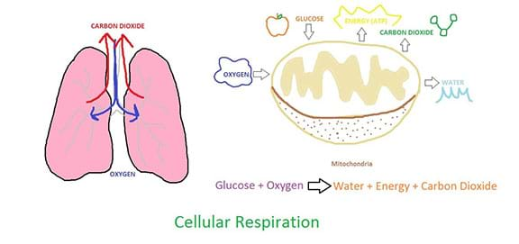 A hand-drawn diagram showing the process of cellular respiration. The picture shows human lungs breathing in oxygen and exhaling carbon dioxide. It also shows a close up of the mitochondria cell structure with oxygen and glucose going into the structure and carbon dioxide, water, and ATP going out of the structure.